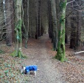 April 2013 - Knockbarron Woods - Millie in her 'Amradillo' jacket.